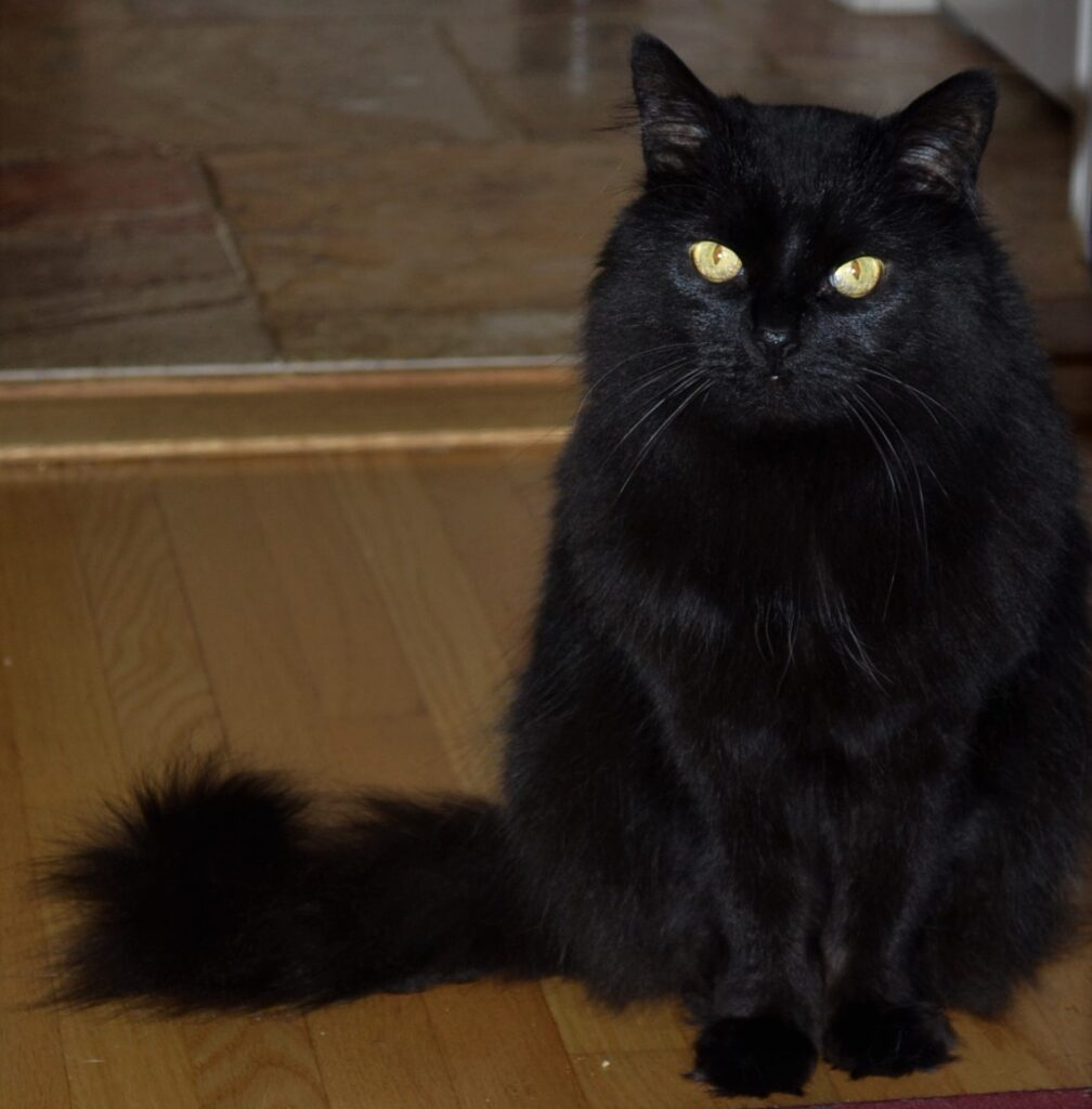 A black cats with yellow eyes, sitting primly.