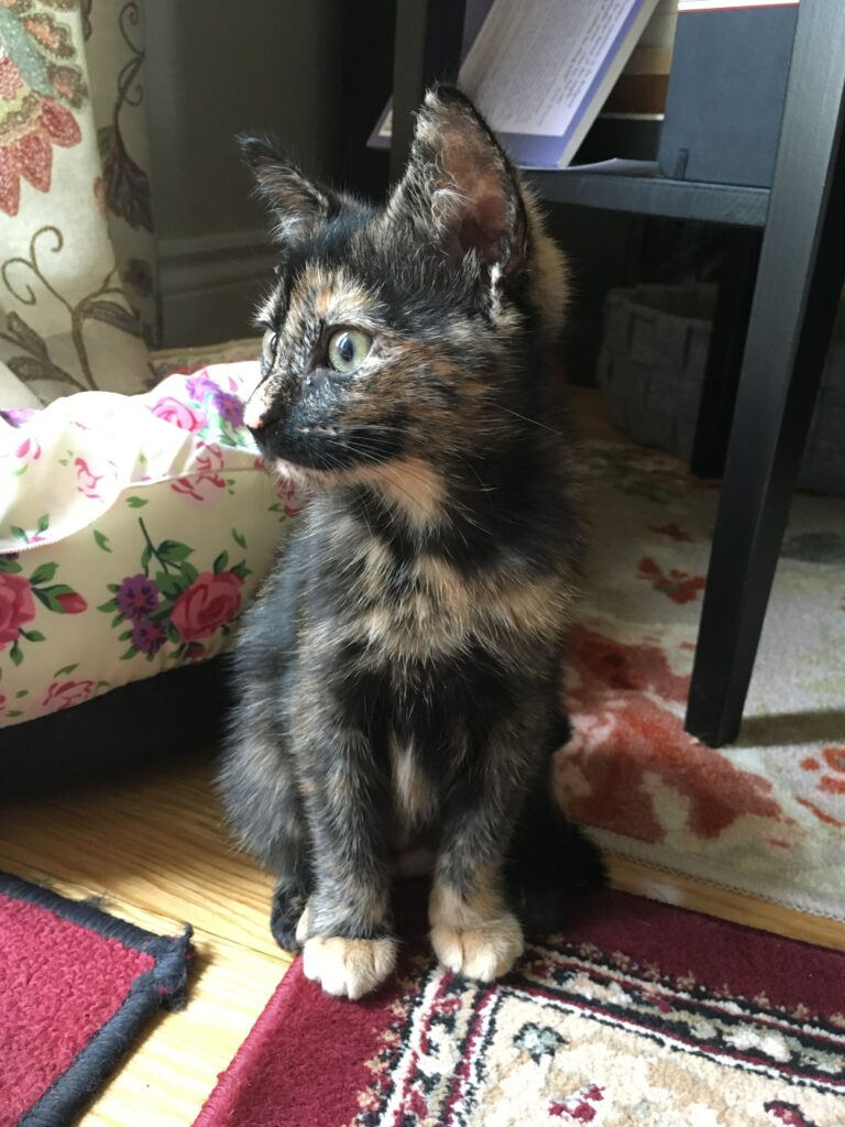 A tortoiseshell kitten sitting on a rug