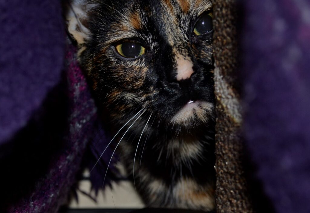 A tortoiseshell kitten peeks through the folds of a purple blanket.