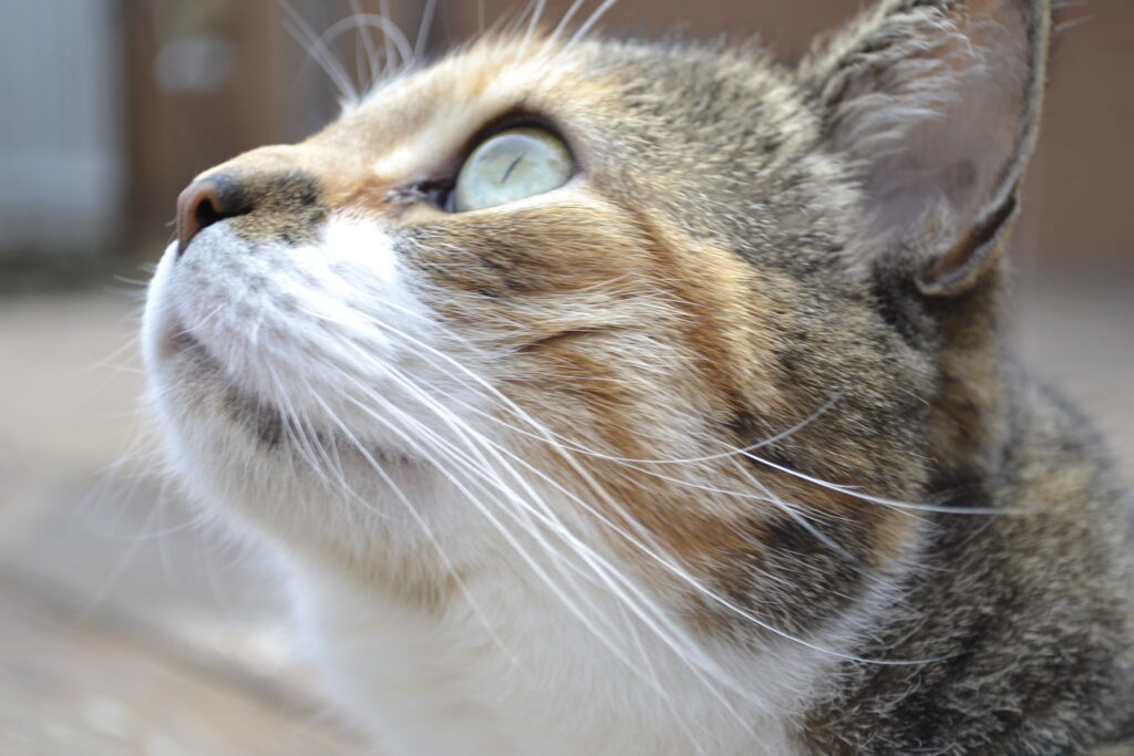 A calico tabby looks to the sky, lit by grey light.