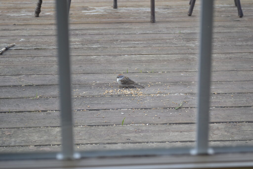 A sparrow eating a little seed on a porch.